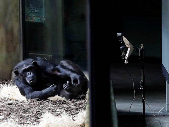 بندروں کی بھی آن لائن ملاقاتیں ہونے لگیں