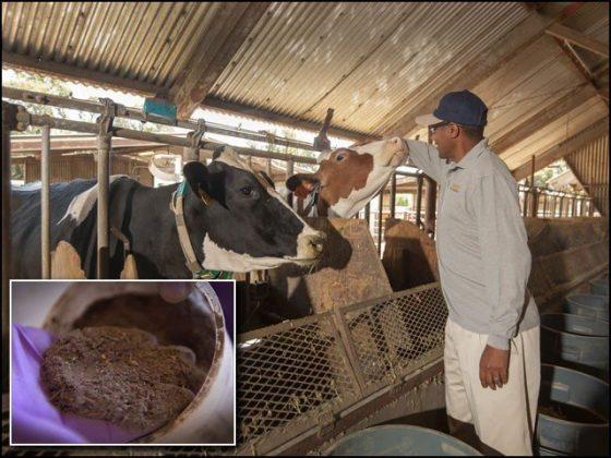 مویشیوں کو 'ماحول دوست' بنانا ہے تو انہیں سمندری گھاس کھلائیے، تحقیق