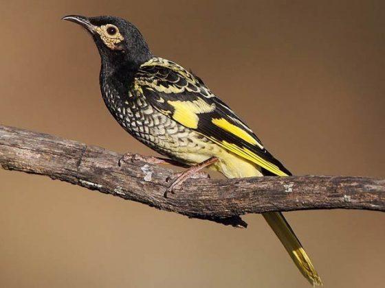 یہ نایاب پرندہ اپنا گانا بھول گیا اور اب اس کی بقا کو خطرہ لاحق ہے