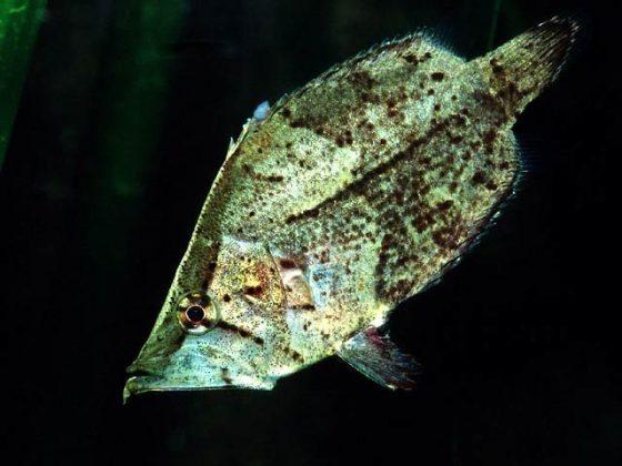 بے جان پتہ بن کر شکار کرنے والی حیرت انگیز مچھلی