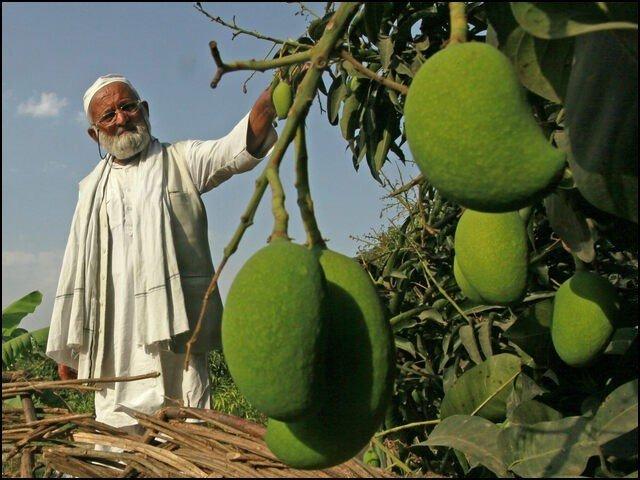 بھارت کا 'آم آدمی' جس نے ایک درخت پر 300 اقسام کے آم اُگا دیئے