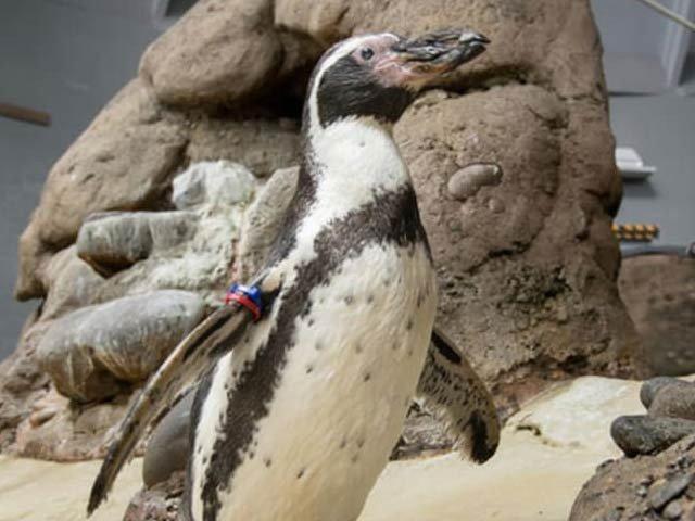 دنیا کا سب سے بوڑھا 31 سالہ پینگوئن چل بسا